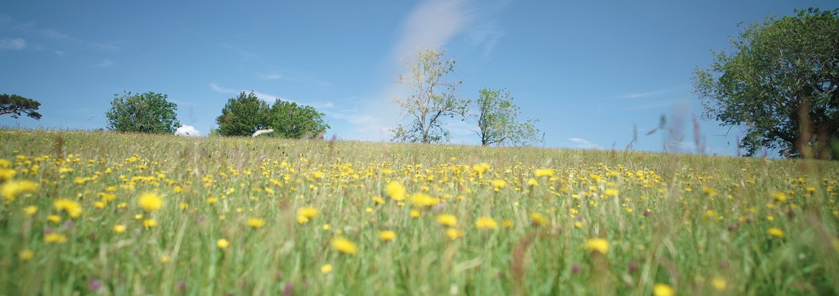 A Film Guide to the Wildflowers of the Westmorland Dales