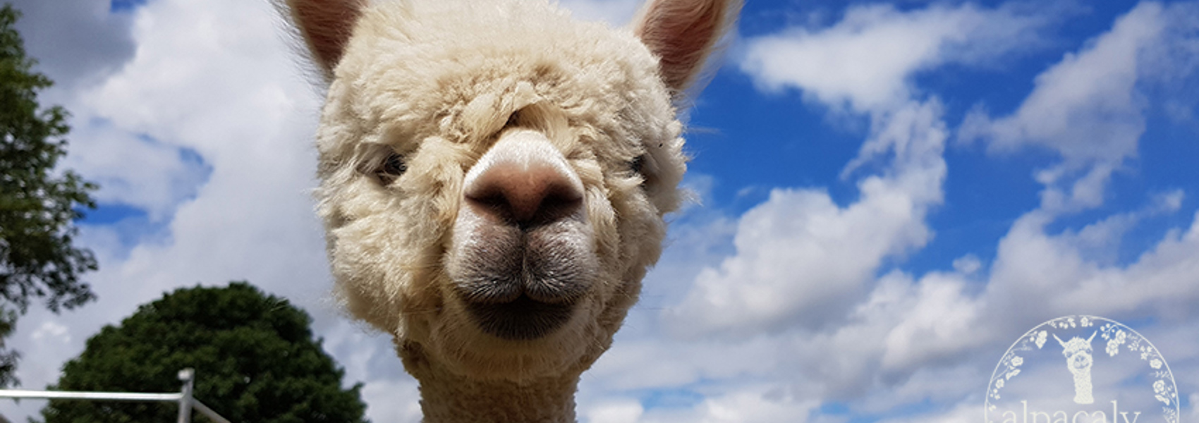 Alpacaly Ever After (CIC)