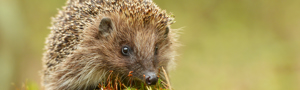 Homes for Hedgehogs - £30