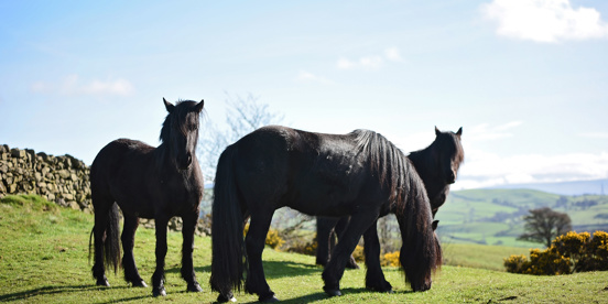 Spirited, sensitive and wise – the fell ponies of the Helm